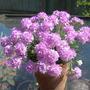 Thrift (Armeria juniperifolia 'Bevan's Variety')