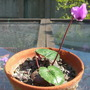 Cyclamen pseudibericum (Cyclamen pseudibericum)