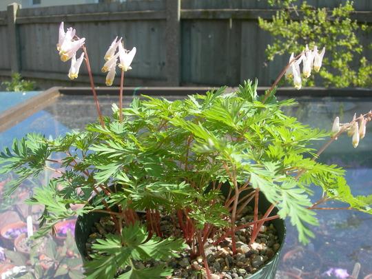 Dicentra cucullaria (Dicentra cucullaria (Dutchmans Breeches))