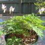 Dicentra cucullaria (Dutchmans Breeches)