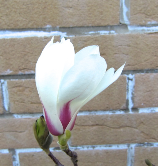 Magnolia Sunrise (Magnolia 'Sunrise')