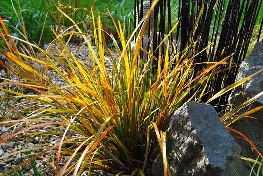 Libertia Goldfinger..... (Libertia peregrinans (New Zealand Iris) Goldfinger)