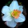 Narcissus cyclamineus  Skype..