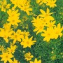 Coreopsis verticillata