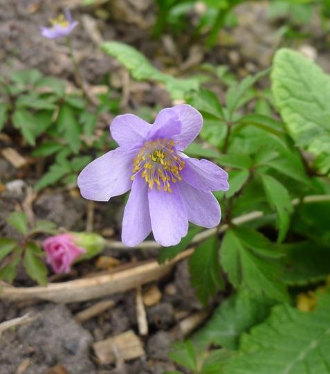 Anemone nemorosa 'Royal Blue' - 2015 (Anemone nemorosa)