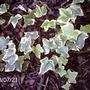 Variegated Ivy (Hedera colchica 'Dentata variegata')