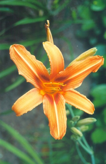 daylily - unsure which one