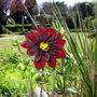 First  Dahlia in flower !!!