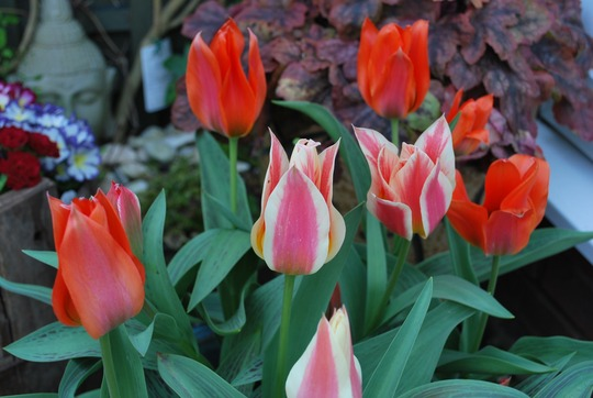 Tulips........Greigii Beautiful Balance.. (Tulipa greigii)