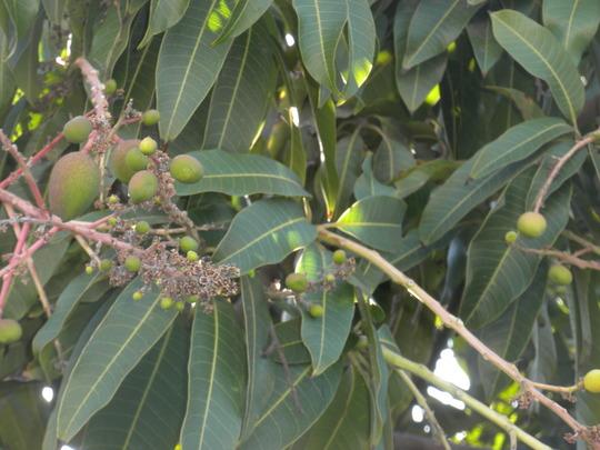 Mangifera indica - Mango Tree in Fruit (Mangifera indica - Mango Tree)