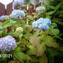 Front garden Hydrangea (Hydrangea)