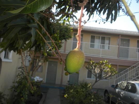 Mangifera indica - Mango Fruit (Mangifera indica - Mango Fruit)