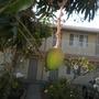 Mangifera indica - Mango Fruit