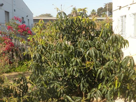 Mangifera indica - Mango Bush (Mangifera indica - Mango Bush)