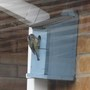 Blue tit with a beakful of nesting material for the box under the eaves