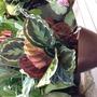 Maranta roseopicta (Maranta roseopicta)