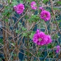 Rubus spectabilis 'Olympic  Double' - 2015 (Rubus spectabilis 'Olympic Double')