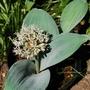 Allium karataviense (Allium karataviense)
