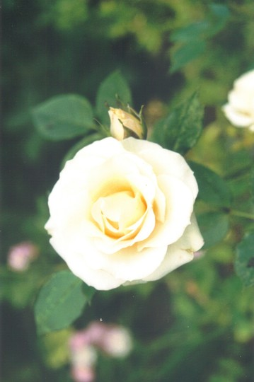 grocery store rose