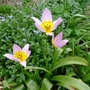 Tulipa saxatilis - 2015 (Tulipa saxatilis)