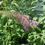 Buddleia - Pink Delight