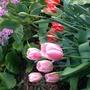 Pink Tulips (Tulips)