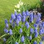 Muscari..Grape Hyacinth..