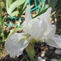 Second dwarf Iris  flower 2015 (Iris pumila Alba)