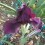 """Dwarf Iris """"Cherry Garden"""" (Iris pumila (Dwarf Flag) ' Cherry Garden')"""