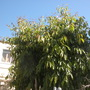 Java Plum - Syzygium cumini (Syzygium cumini)
