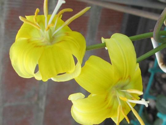 "Erythonium pagoda (Erythonium ""pagoda"")"