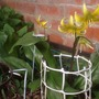 """Dogs tooth violet (Erythronium """"pagoda"""")"""