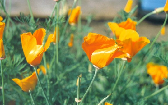 California Poppies (Eschscholzia californica (California poppy))