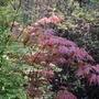 Acer palmatum Osakazuki Aureum. (Acer palmatum Osakazuki Aureum.)