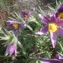 Flowering at the correct time.  (Pulsatilla vulgaris (Pasque flower))
