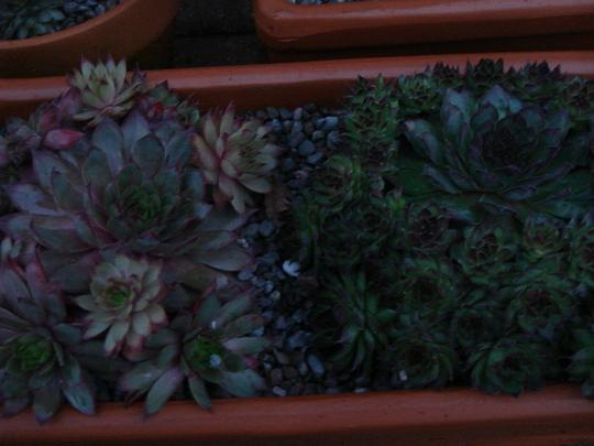 Sempervivum 'Noir' & 'Blood Tip' (Sempervivum hybrid)