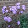 Rhododendron_blue_diamond_2015