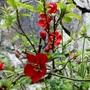 Common flowering quince (Chaenomeles speciosa)