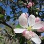 Malus domestica (Apple) 'Greensleeves'