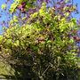 Akebia quinata (chocolate vine)