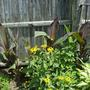 Cannas are getting taller