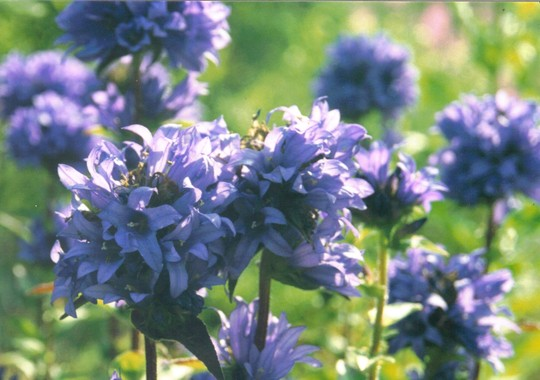 cluster bellflower (campanula)