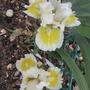 Dwarf Iris 'Captive Sun' (Iris pumila (Dwarf Flag) 'Captive Sun')