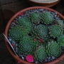 Sempervivum arachnoideum 'Rubin' (Sempervivum arachnoideum)
