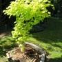 Acer shirasawanum 'Jordan'  (Acer shirasawanum 'Jordan')