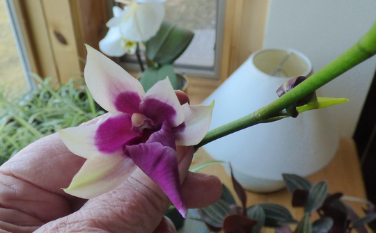 April 20 Patrick s orchid2