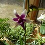 Purple_orchid_in_sun2_copy