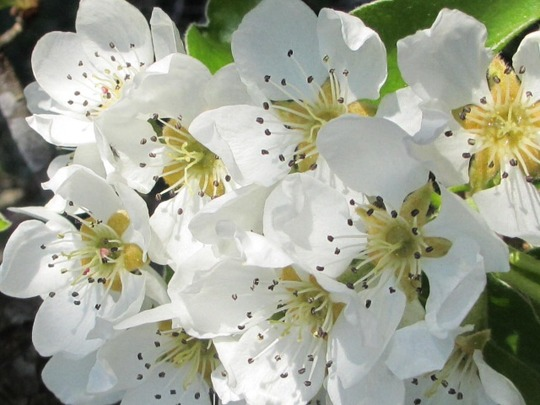 Pear flower cluster (Pyrus communis (Pear) 'Concorde')