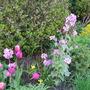 Lunaria,( Honesty) and Tulips..
