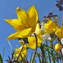 Tulipa sylvestris in the sunshine. (Tulipa sylvestris (Wild Tulip))